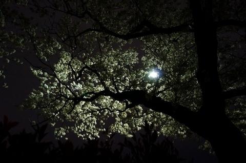 1夜桜 (640x425).jpg