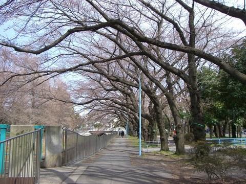 桜のトンネルになるはず.JPG